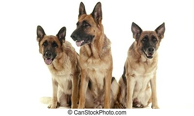 1of14 alsatian dogs in studio, pets - Pets, animals and...