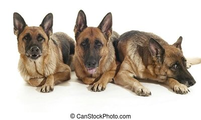 2of14 alsatian dogs in studio, pets