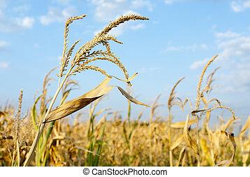 campo, maíz, soleado, día