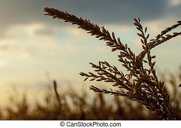 Corn Field in back light - Details of a corn field in back...