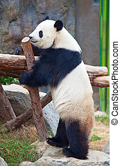 Panda bear - Giant panda bear eating bamboo leafs