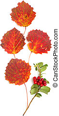 autumnal stilllife with lingonberries and aspen leaves