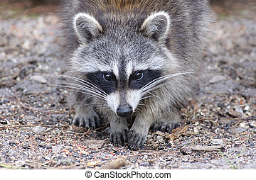 Curious Raccoon - Raccoon (Procyon lotor) searching for food