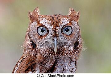 東部, Screech-Owl, (Megascops, asio)