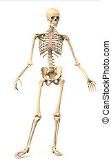 Male Human skeleton, in dynamic posture, front view.