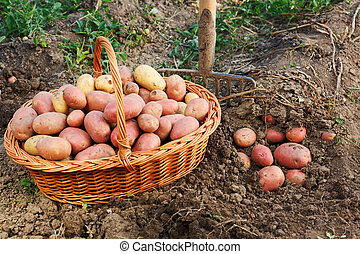 Potato harvest scene - Potatoes in soil, crop in wicker...