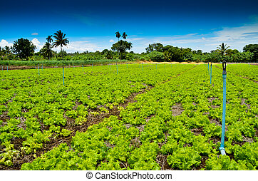 Organic lettuce farm - a photo of the organic lettuce farm