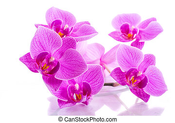 phalaenopsis - Phalaenopsis beautiful flowers on a white...