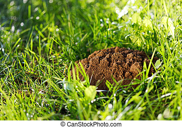 Molehills on the grass - Molehills in the middle of the...
