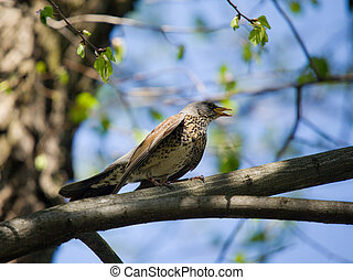 Singing fieldfare on a branch of a tree in the spring