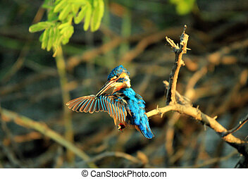 Common Kingfisher (Alcedo atthis) Cleaning the Wing, Bundala...