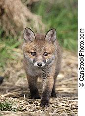 Red fox, Vulpes vulpes, cub, Sussex, spring