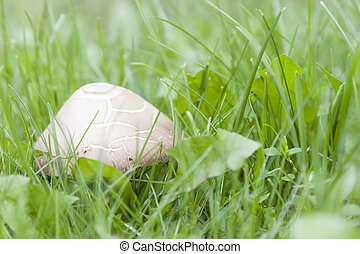 Inedible mushroom in grass