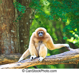 白色, 長臂猿