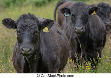 black cows in a row
