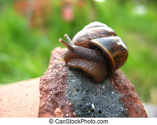 snails - Garden snails that creepeth upon the rocks
