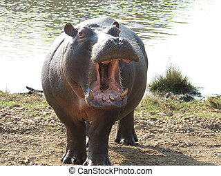 Angry Hippo - territorial hippo showing his tusks in front...