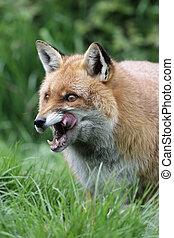 Red fox, Vulpes vulpes, Somerset, spring