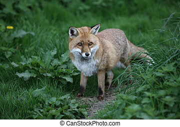 Red fox, Vulpes vulpes, Somerset, spring