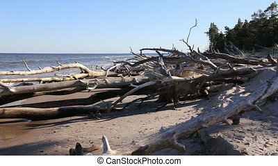 old dead tree Baltic sea coast Kolk - DSLR Full HD...