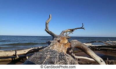 old dead tree Baltic sea coast Kolk - DSLR Full HD...
