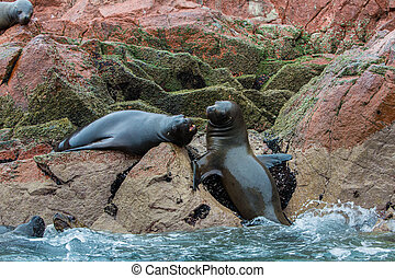 South American Sea lions relaxing on the rocks of the...