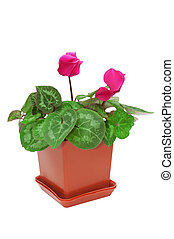 red cyclamen in a pot