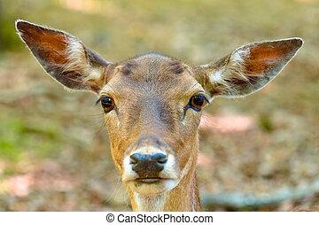 Head of a fallow deer