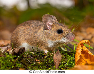 yellow necked mouse in forest - yellow necked mouse on...