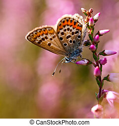 Silver studded Blue Butterfly Plebeius argus on Heath -...