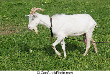White goat on the pasture with green grass
