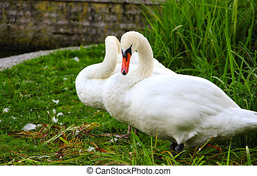 White swans - Two beautifu white swans standing on green...