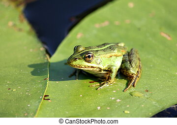 Frog - a Frog resting on a lotus leaf