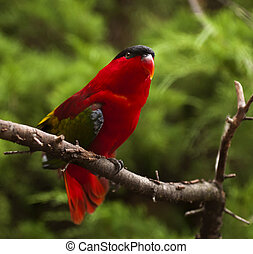 Purple-naped Lory - A purple-naped lory sitting on a branch