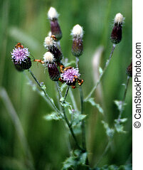 Spotted Knapweek G-1737 - Spotted knapweed (Centaurea...