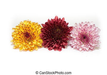 Three Color of Chrysanthemum Isolated On A White Background