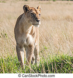 Lioness (Panthera Leo) - Lioness in the savannah in Massai...