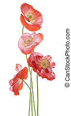 poppy - Studio Shot of Orange and Red Colored Poppy Flowers...