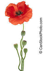 poppy - Studio Shot of Orange Colored Poppy Isolated on...
