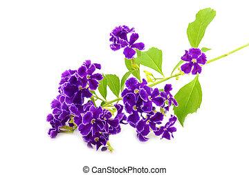 violeta, flor, Duranta, erecta, L, Verbenaceae