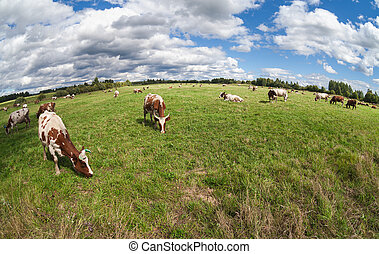 Herd of cows grazing in a pasture