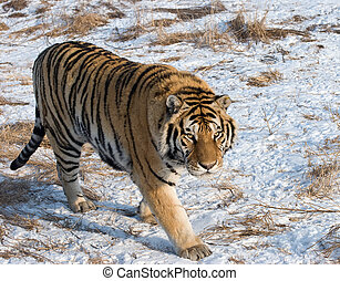 Prowling Siberian Tiger - A siberian tiger photographed in...