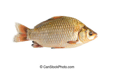 crucian isolated over white