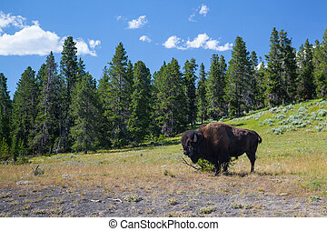 American Bizon in Yellowstone National Park - The typical...