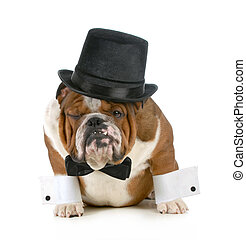 funny dog - grumpy looking bulldog dressed up in a tophat...