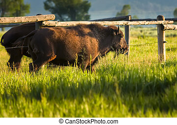 Bison in the Tetons - Two buffaloes walking near a fence in...