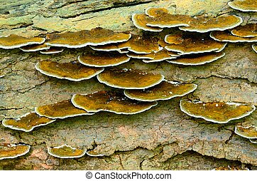 Tree Fungus growing on the side of a rotting tree trunk.