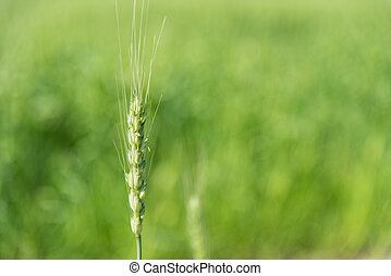 ear of wheat - This is a photograph of a ear of wheat.