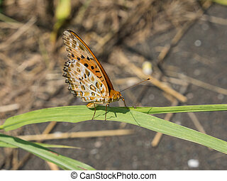 brush-footed butterfly that stayed on grass - This is a...