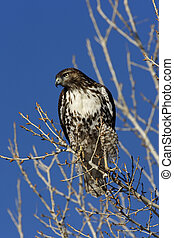 Red-tailed hawk, Buteo jamaicensis, New Mexico, USA, winter...